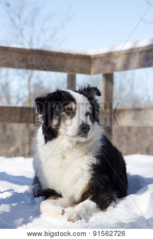 Black And White Aussie In Snow