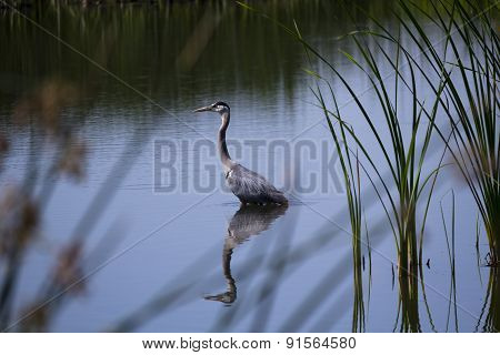 Blue Heron Standing Wetlands Reflections In Water