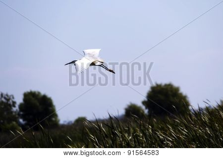 White Egret Flying Over Reeds In Wetlands