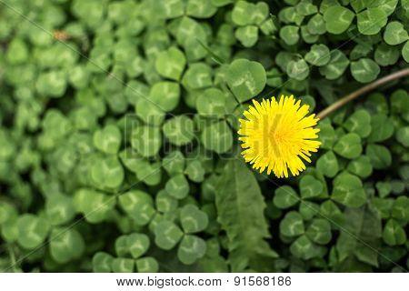 Dandelion Flower In Bloom