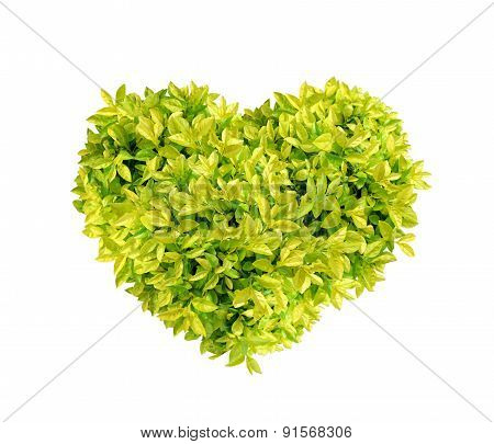 Heart Golden dewdrop, Pigeon berry isolated on white background