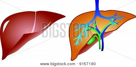 liver and gall anaromy vector