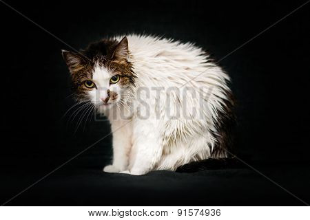 Mad Cat With Bright Amber Eyes And Wet Hair After Bathing Sitting On Sofa And Looking At Camera