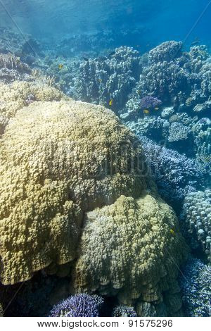 Coral Reef With  Mountain Corals In Tropical Sea, Underwater