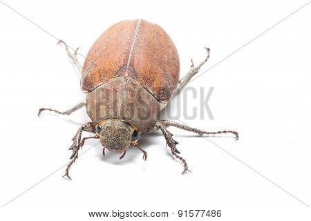Female Rhinceros BeetleUnicorn Beetle