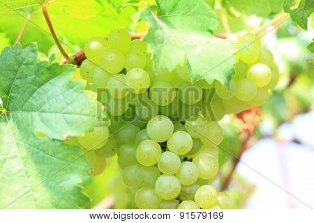 bunch of ripe and juicy green grapes close-up
