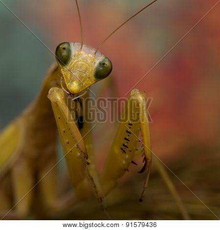 portrait of mantis
