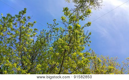 Spring Tree Branches On A Clear Blue Sky