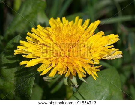 Blossom Dandelion Head