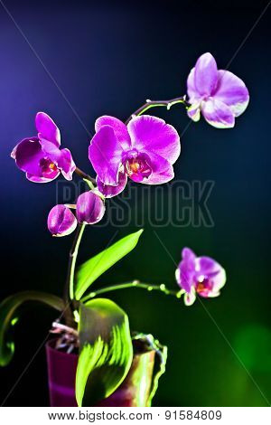 Orchid Flower (phalaenopsis Ambiance) View