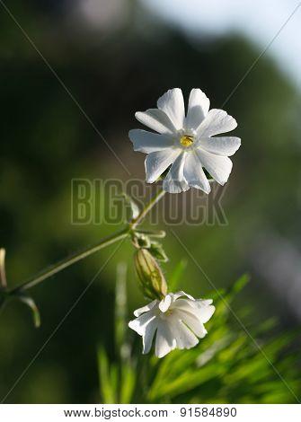 Melandrium Album Flower