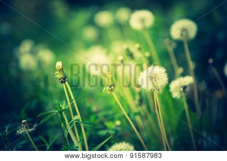 Vintage Photo Of Withered Dandelions