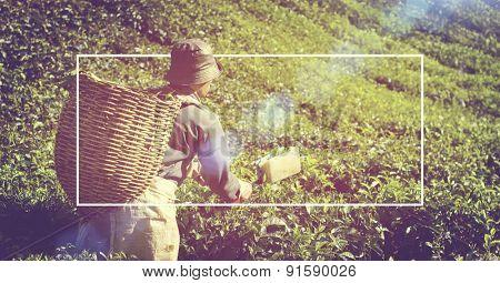 Manual Worker Picking Tea Plantation Harvesting Industry Job