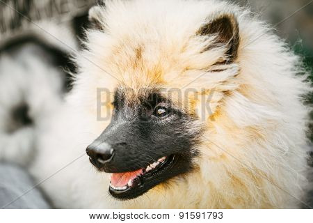 Gray Keeshound, Keeshond, Keeshonden Dog German Spitz Wolfspitz Close Up