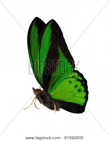 macro photo of green butterfly isolated on white background
