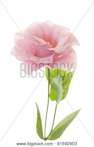 Beautiful pink rose with fresh leaves isolated on white