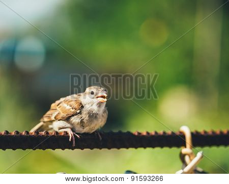 House Sparrow Passer Domesticus On Fence