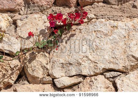 Red bougainvillea, Sharm el Sheikh, Egypt.