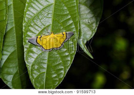 Celerena Signata Moth Hanging Under Leaf