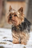 picture of yorkshire terrier  - Beautiful Yorkshire Terrier standing on snow in winter - JPG