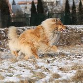 stock photo of collie  - Beautiful Scotch collie running on snow in winter - JPG