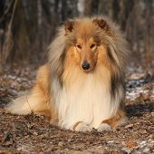 foto of collie  - Amazing scotch collie lying in winter forest - JPG