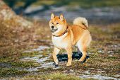 stock photo of puppy eyes  - Beautiful Young Red Shiba Inu Puppy Dog Staying Outdoor In Spring - JPG