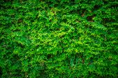 Постер, плакат: Cedar Leaves Hedge Wall Background