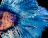 image of siamese fighting fish  - Fighting Fish of Thailand on a black background - JPG
