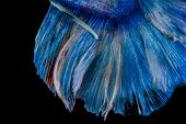 pic of siamese fighting fish  - Fighting Fish of Thailand on a black background - JPG