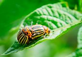 stock photo of potato bug  - Two Colorado Striped Beetles Leptinotarsa Decemlineata - JPG