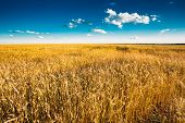 picture of ear  - Yellow Wheat Ears Field On Blue Sunny Sky Background - JPG