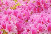 pic of azalea  - Many flowers of Rhododendron  - JPG