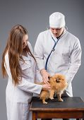 stock photo of vet  - Two vets with phonendoscope holding cute pomeranian dog - JPG