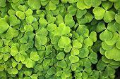 picture of sorrel  - Leaves of common wood sorrel  - JPG