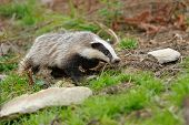 image of badger  - Badger near its burrow in the summer forest - JPG