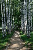 picture of birching  - Birch alley with sandy path in the summer park - JPG