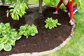 foto of kneeling  - Gardener doing mulch work around the house kneeling down on a lush green lawn to spread the organic mulch by hand at the edge of the formal flowerbed - JPG