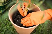 image of plant pot  - Gloved gardener pots a houseplant in a compost plant pot - JPG