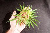 picture of ganja  - Blooming Cannabis Marijuana Green Ripe Buds Flowers - JPG