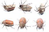 pic of oryctes  - Female Rhinceros BeetleUnicorn Beetle isolate on white - JPG