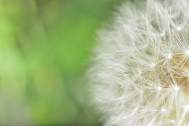 stock photo of defloration  - deflorate enlarged Dandelion ( blowball ) with fluff and seeds over green ** Note: Soft Focus at 100%, best at smaller sizes - JPG