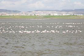 pic of larnaca  - Flamingos in Larnaca Salt Lake  - JPG