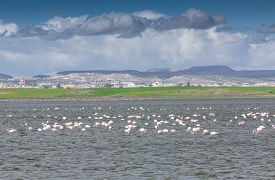 image of larnaca  - Flamingos in Larnaca Salt Lake  - JPG