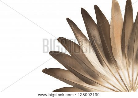 Gray pigeon feathers isolated on white background
