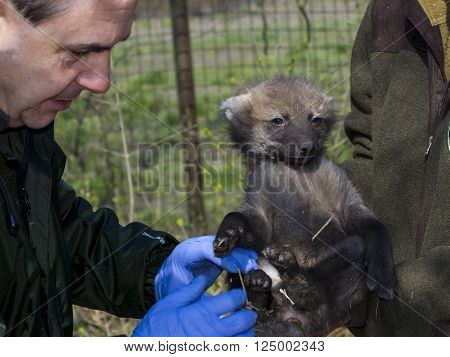 SZEGED, HUNGARY - MARCH 18. 2016 - Maned wolf (Chrysocyon brachyurus) puppy veterinary examination in Szeged Zoo