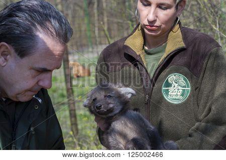 SZEGED HUNGARY - MARCH 18. 2016 - Maned wolf (Chrysocyon brachyurus) puppy veterinary examination in Szeged Zoo