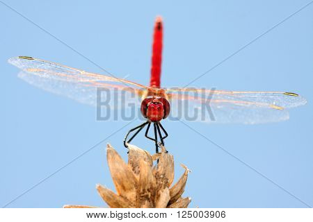 beautiful red dragonfly, nature and wildlife photo