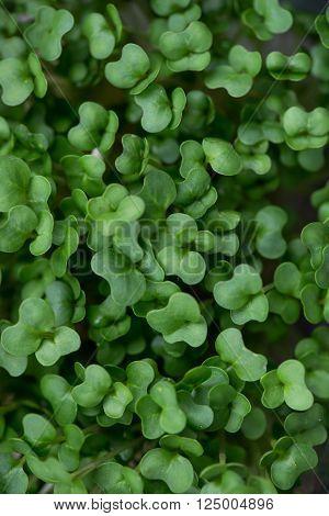 Fresh Cress Salad Closeup Shallow DOF Selective Focus Macro Shot