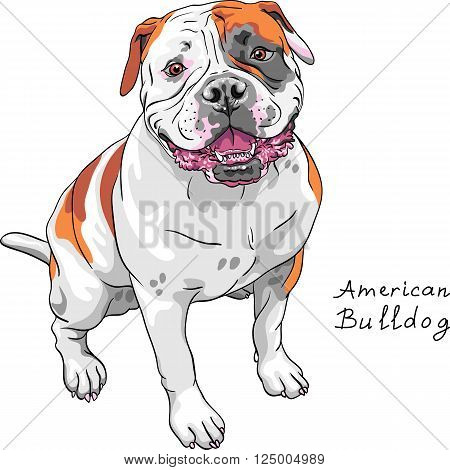 COLOR sketch of the dog American Bulldog breed